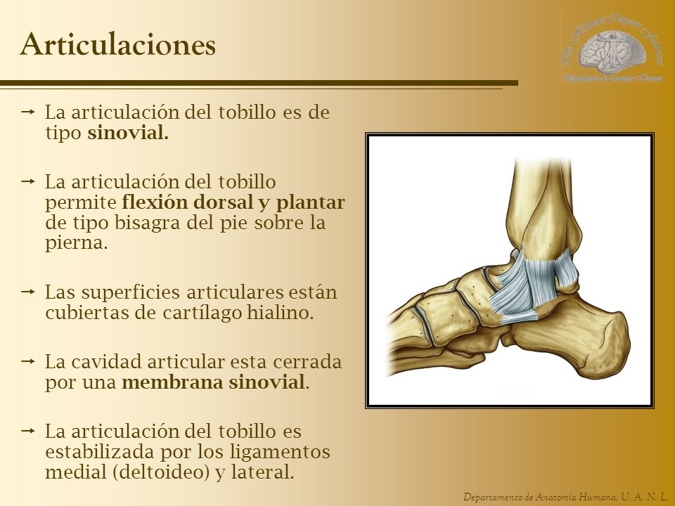 Articulaciones La articulación del tobillo es de tipo sinovial.