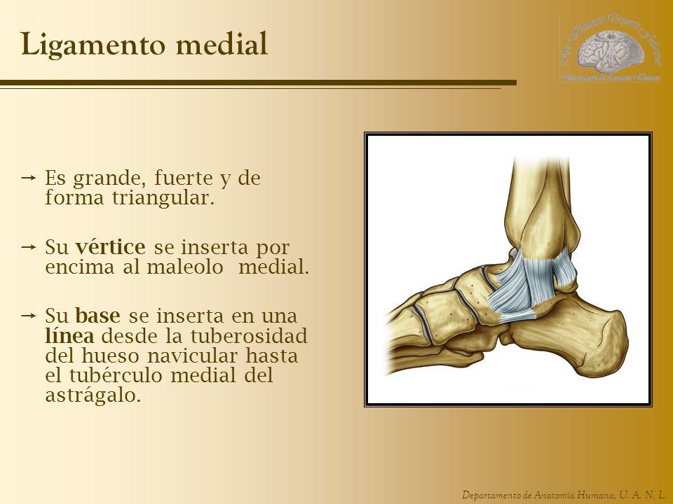 Ligamento medial Es grande, fuerte y de forma triangular.