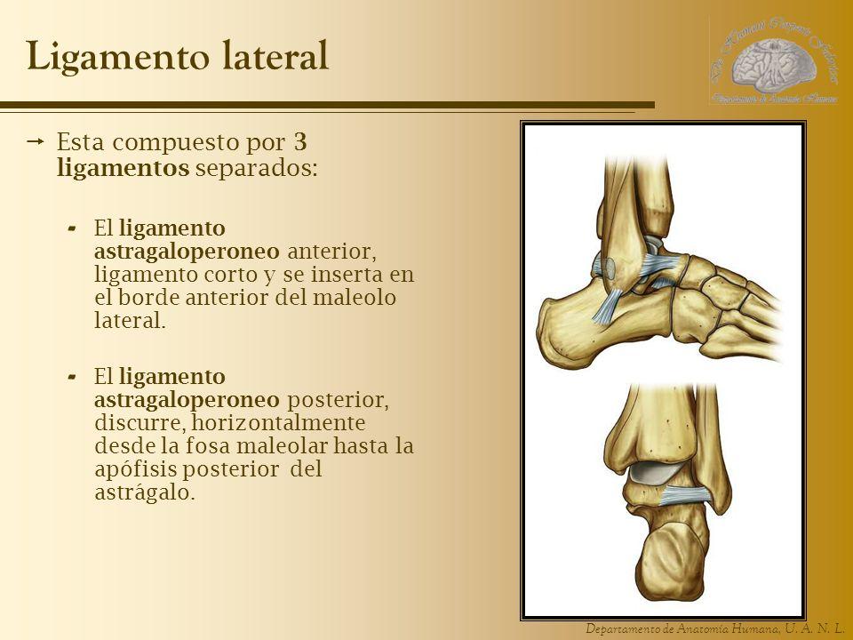Ligamento lateral Esta compuesto por 3 ligamentos separados: