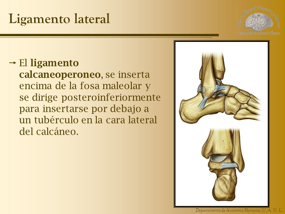 Ligamento lateral