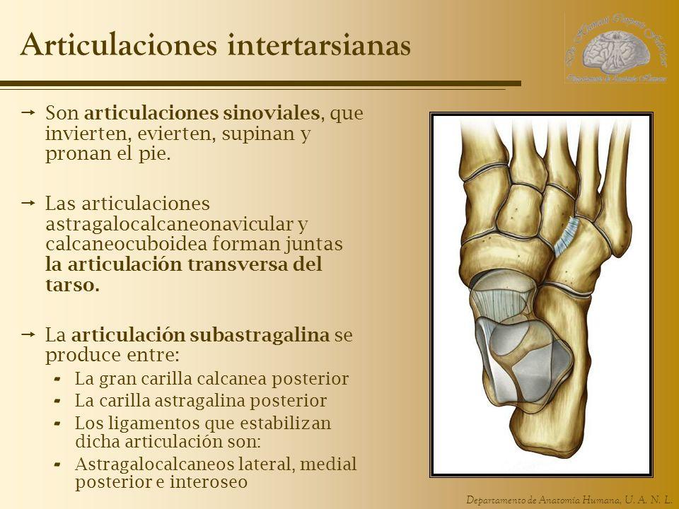 Articulaciones intertarsianas