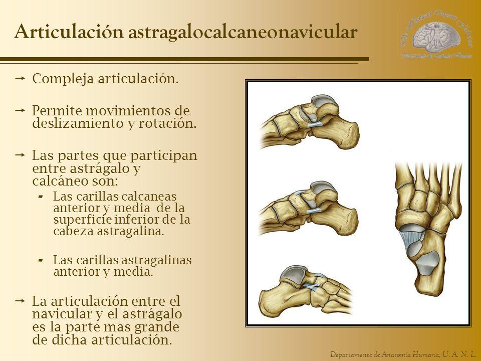 Articulación astragalocalcaneonavicular