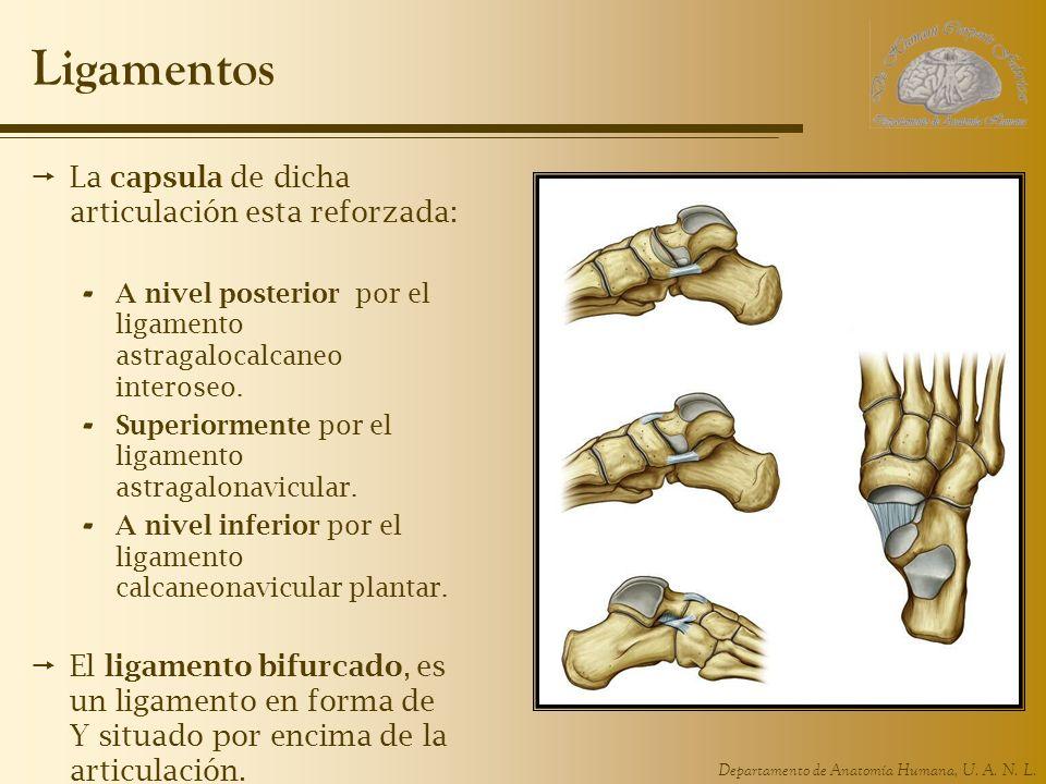Ligamentos La capsula de dicha articulación esta reforzada: