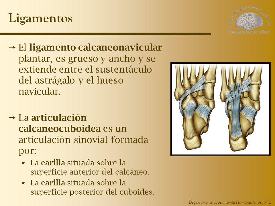 Ligamentos El ligamento calcaneonavicular plantar, es grueso y ancho y se extiende entre el sustentáculo del astrágalo y el hueso navicular.