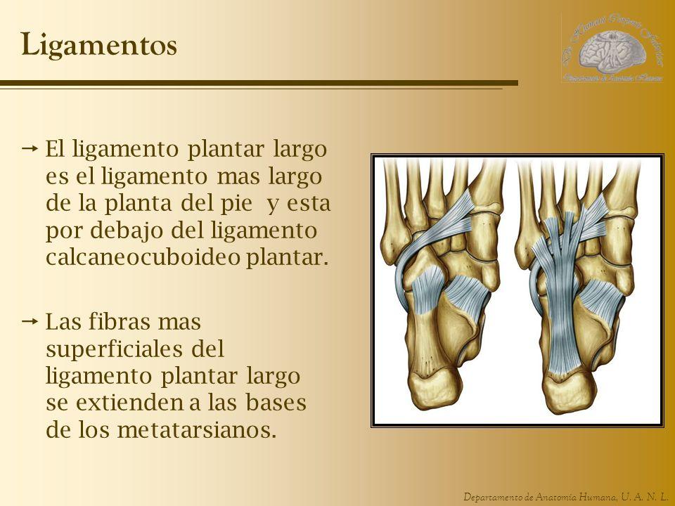 Ligamentos El ligamento plantar largo es el ligamento mas largo de la planta del pie y esta por debajo del ligamento calcaneocuboideo plantar.