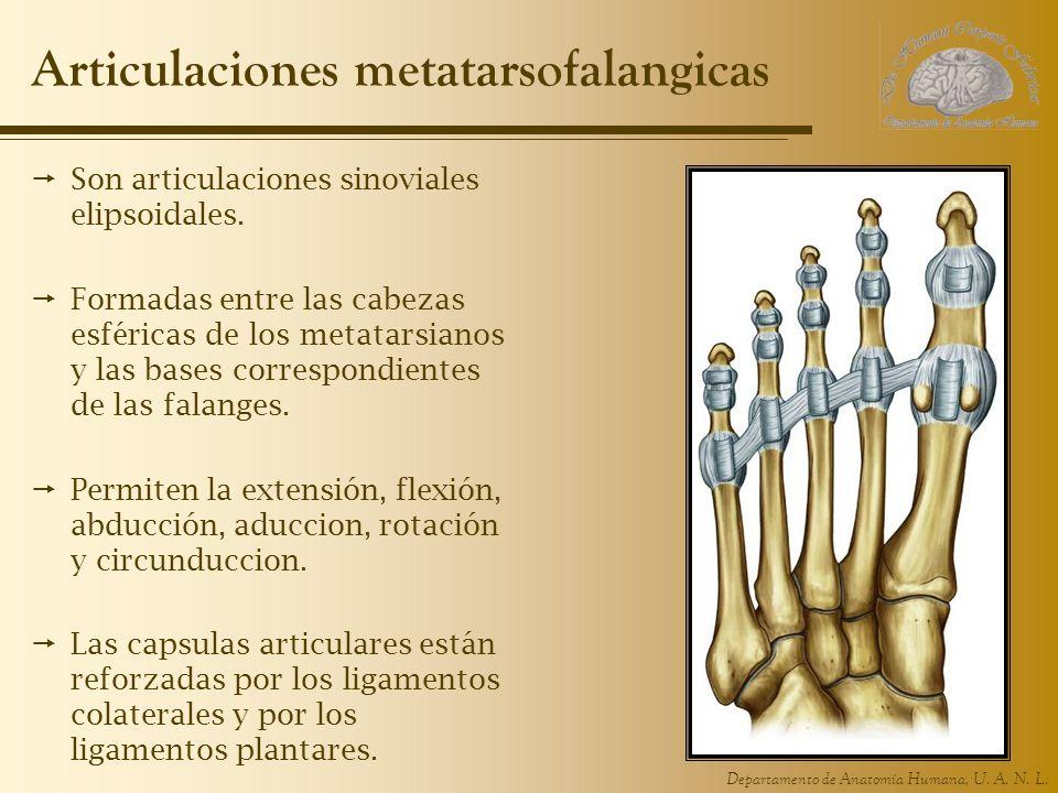 Articulaciones metatarsofalangicas