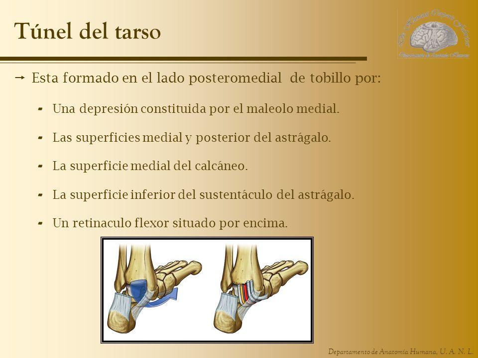 Famoso Anatomía Del Túnel Tarsiano Friso - Anatomía de Las ...