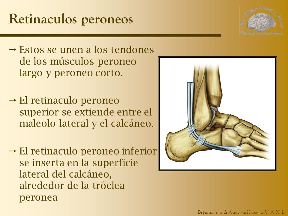 Retinaculos peroneos Estos se unen a los tendones de los músculos peroneo largo y peroneo corto.