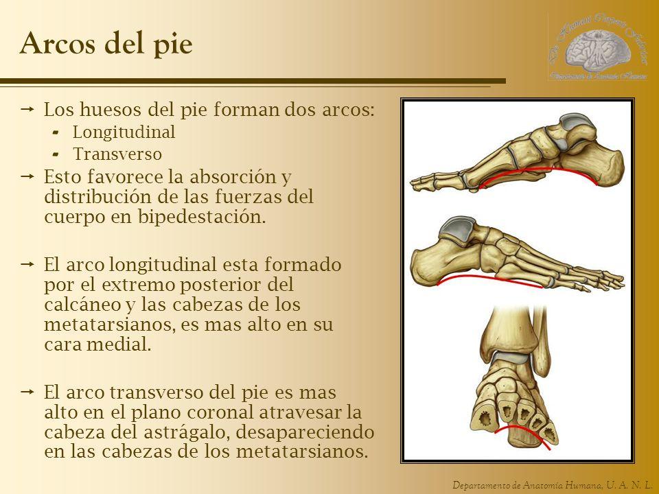 Arcos del pie Los huesos del pie forman dos arcos: