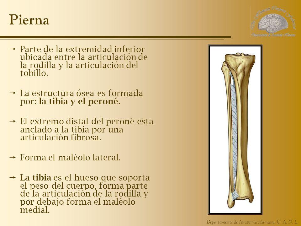 Pierna Parte de la extremidad inferior ubicada entre la articulación de la rodilla y la articulación del tobillo.