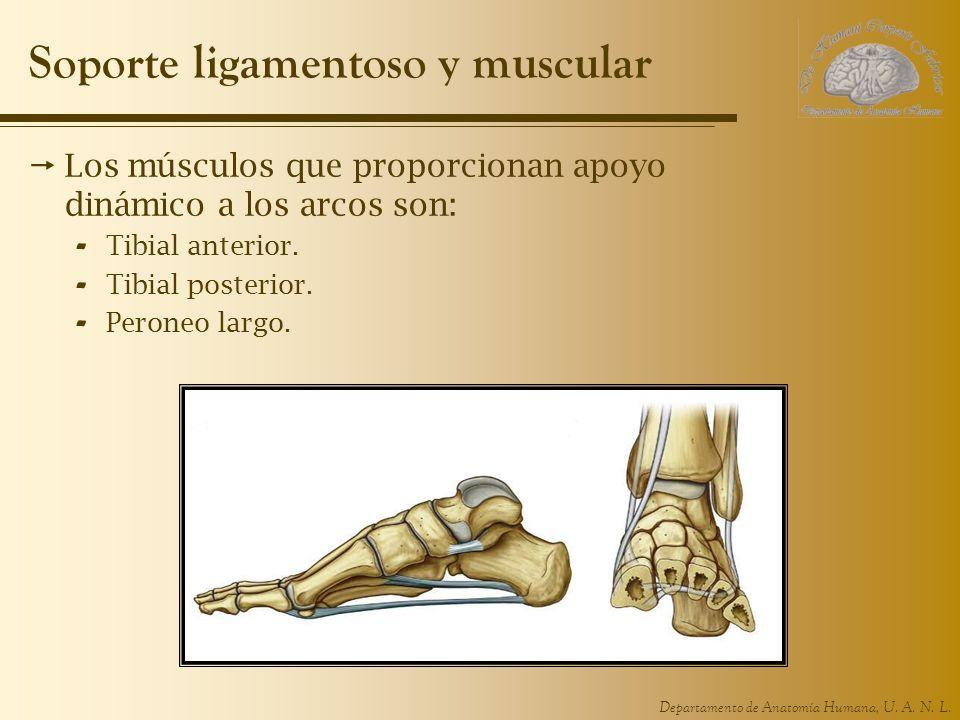 Soporte ligamentoso y muscular