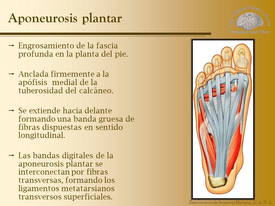 Aponeurosis plantar Engrosamiento de la fascia profunda en la planta del pie.