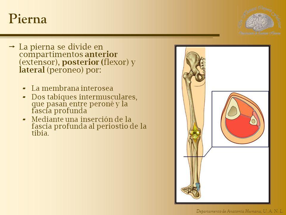 Pierna La pierna se divide en compartimentos anterior (extensor), posterior (flexor) y lateral (peroneo) por: