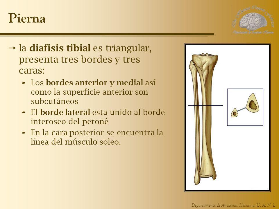 Pierna la diafisis tibial es triangular, presenta tres bordes y tres caras: