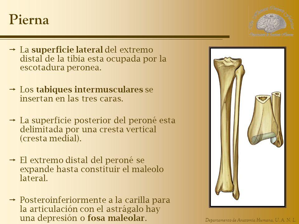 Pierna La superficie lateral del extremo distal de la tibia esta ocupada por la escotadura peronea.