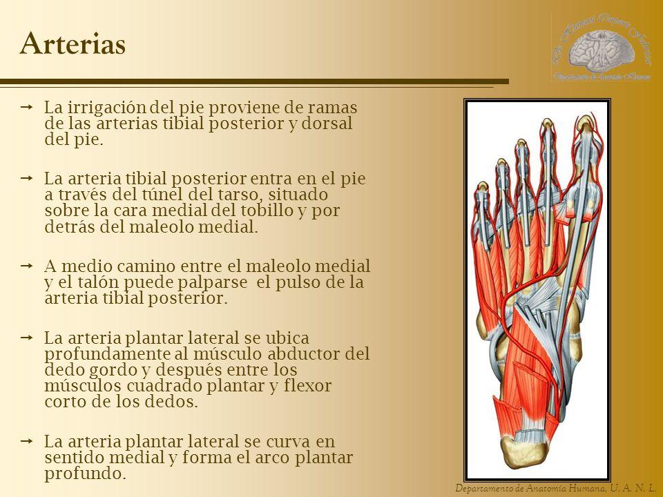 Arterias La irrigación del pie proviene de ramas de las arterias tibial posterior y dorsal del pie.