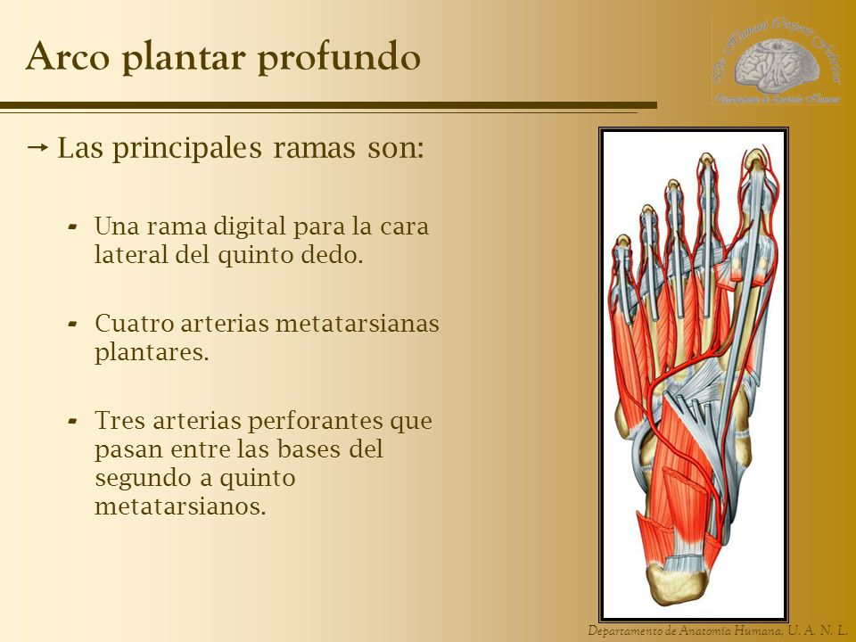 Arco plantar profundo Las principales ramas son: