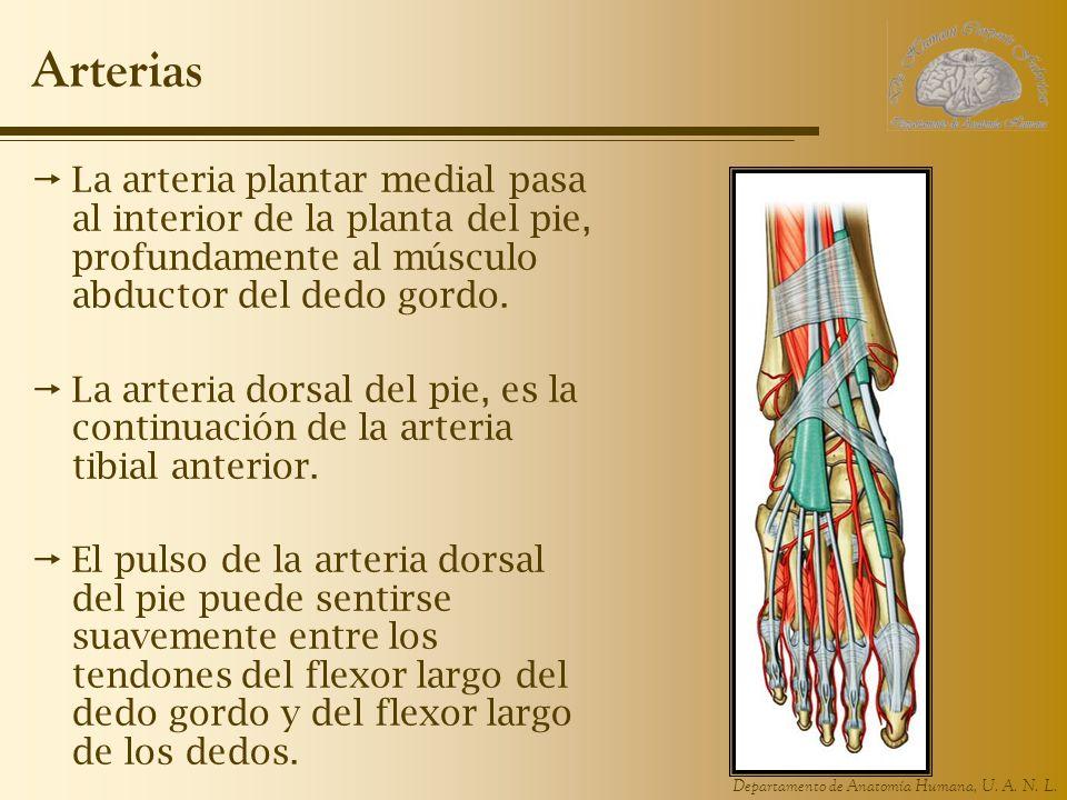 Arterias La arteria plantar medial pasa al interior de la planta del pie, profundamente al músculo abductor del dedo gordo.