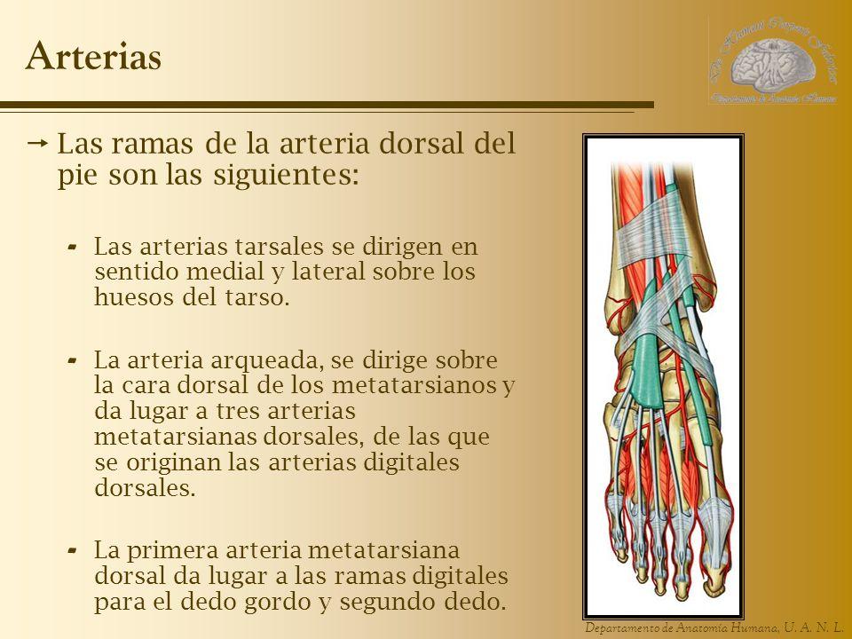Arterias Las ramas de la arteria dorsal del pie son las siguientes: