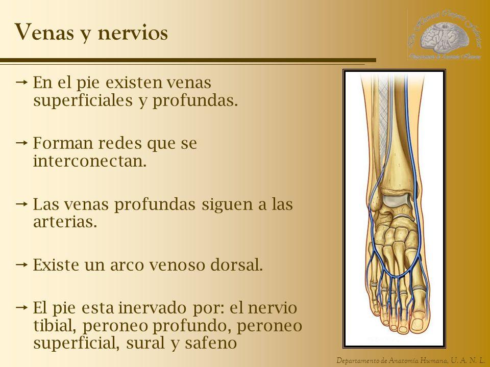 Venas y nervios En el pie existen venas superficiales y profundas.