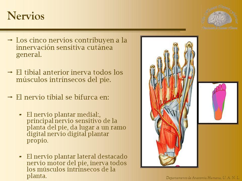 Nervios Los cinco nervios contribuyen a la innervación sensitiva cutánea general. El tibial anterior inerva todos los músculos intrínsecos del pie.