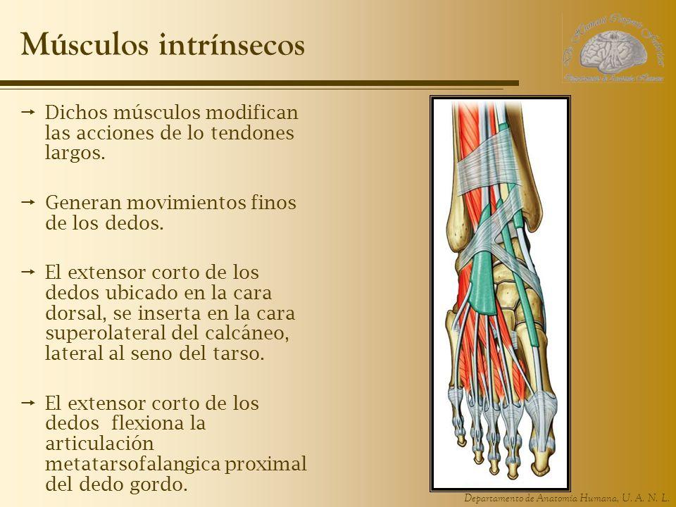Músculos intrínsecos Dichos músculos modifican las acciones de lo tendones largos. Generan movimientos finos de los dedos.