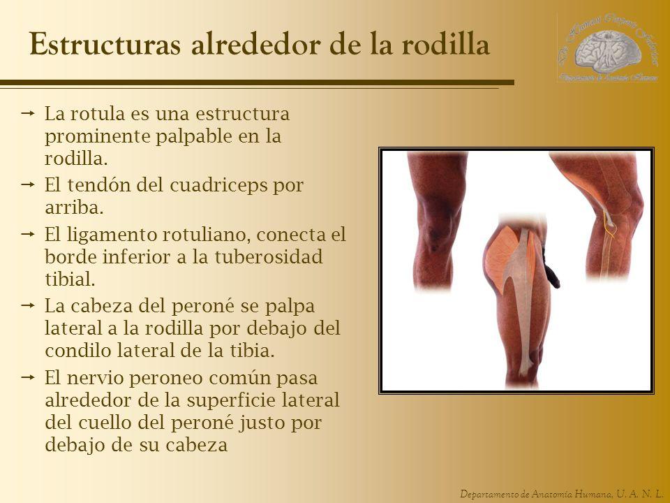 Estructuras alrededor de la rodilla