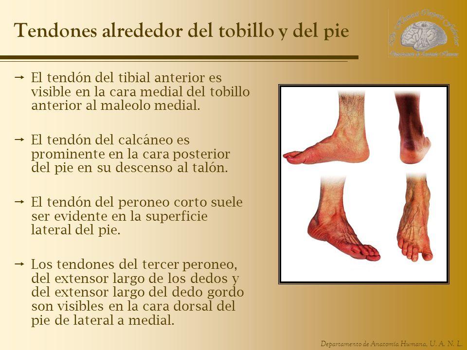 Tendones alrededor del tobillo y del pie