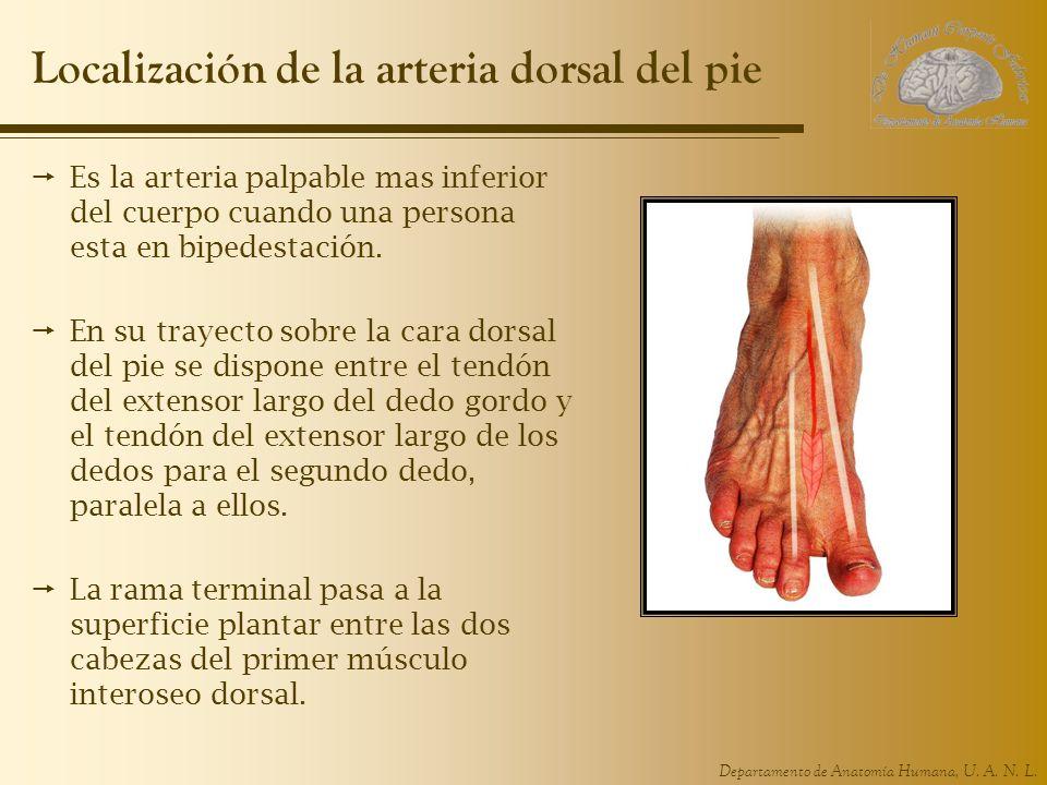 Localización de la arteria dorsal del pie