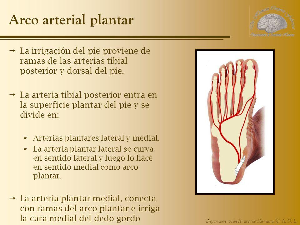 Arco arterial plantar La irrigación del pie proviene de ramas de las arterias tibial posterior y dorsal del pie.