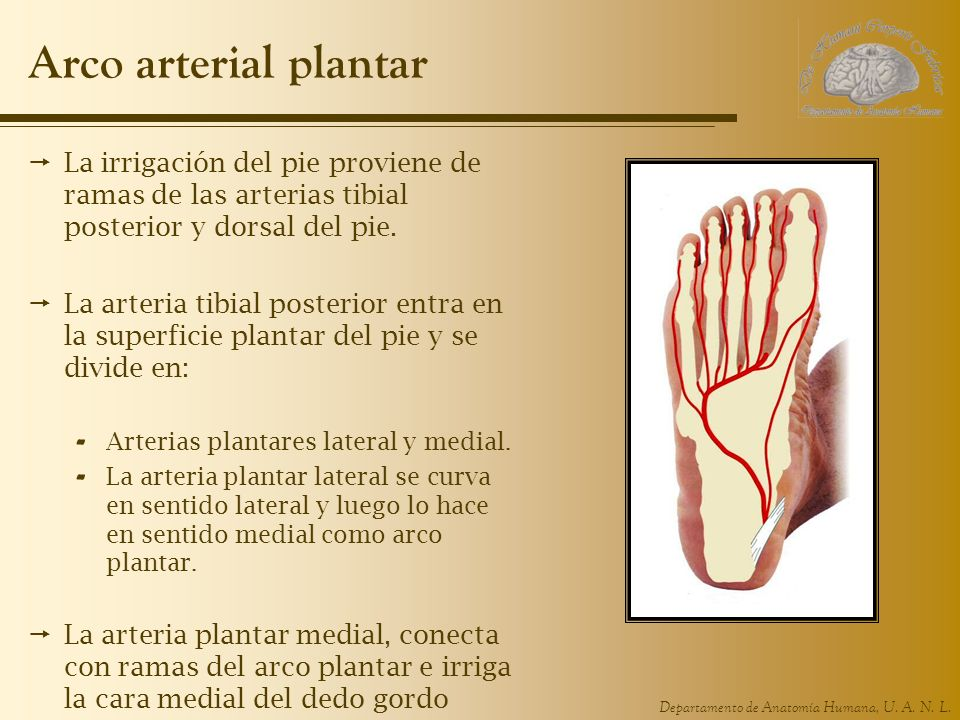 Arco arterial plantarLa irrigación del pie proviene de ramas de las arterias tibial posterior y dorsal del pie.