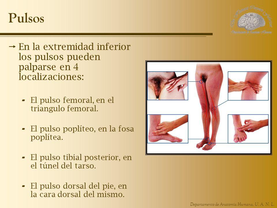 PulsosEn la extremidad inferior los pulsos pueden palparse en 4 localizaciones: El pulso femoral, en el triangulo femoral.