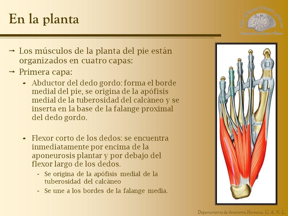 En la planta Los músculos de la planta del pie están organizados en cuatro capas: Primera capa:
