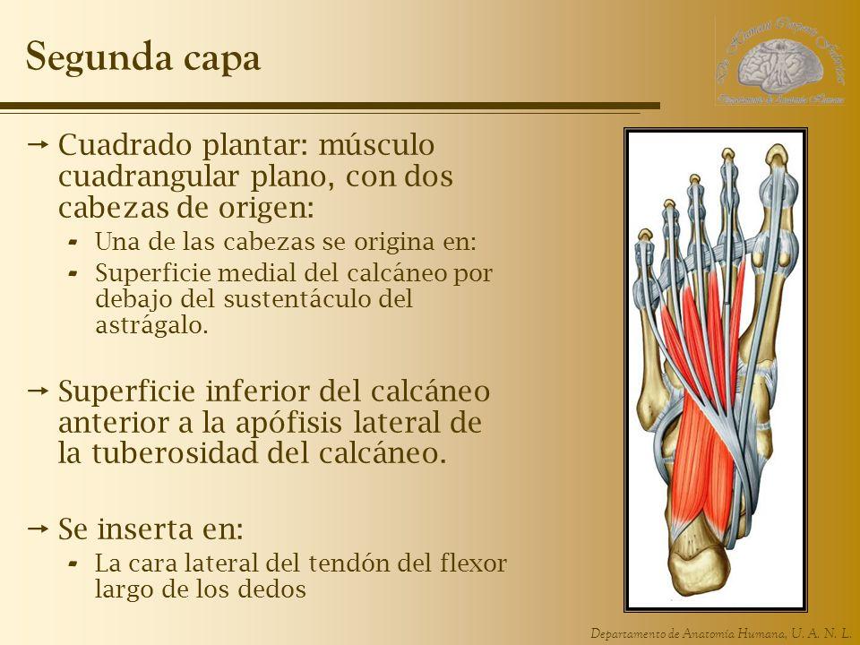 Segunda capaCuadrado plantar: músculo cuadrangular plano, con dos cabezas de origen: Una de las cabezas se origina en: