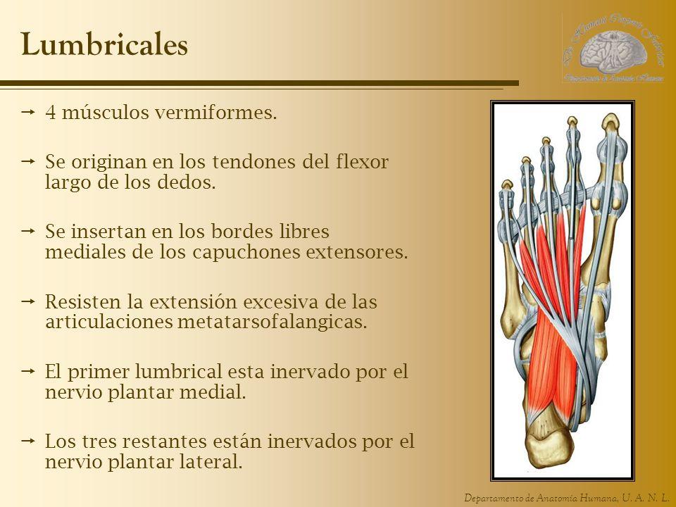 Lumbricales 4 músculos vermiformes.