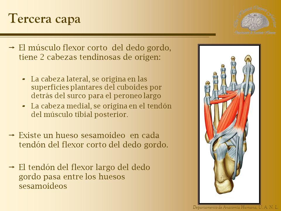 Tercera capa El músculo flexor corto del dedo gordo, tiene 2 cabezas tendinosas de origen:
