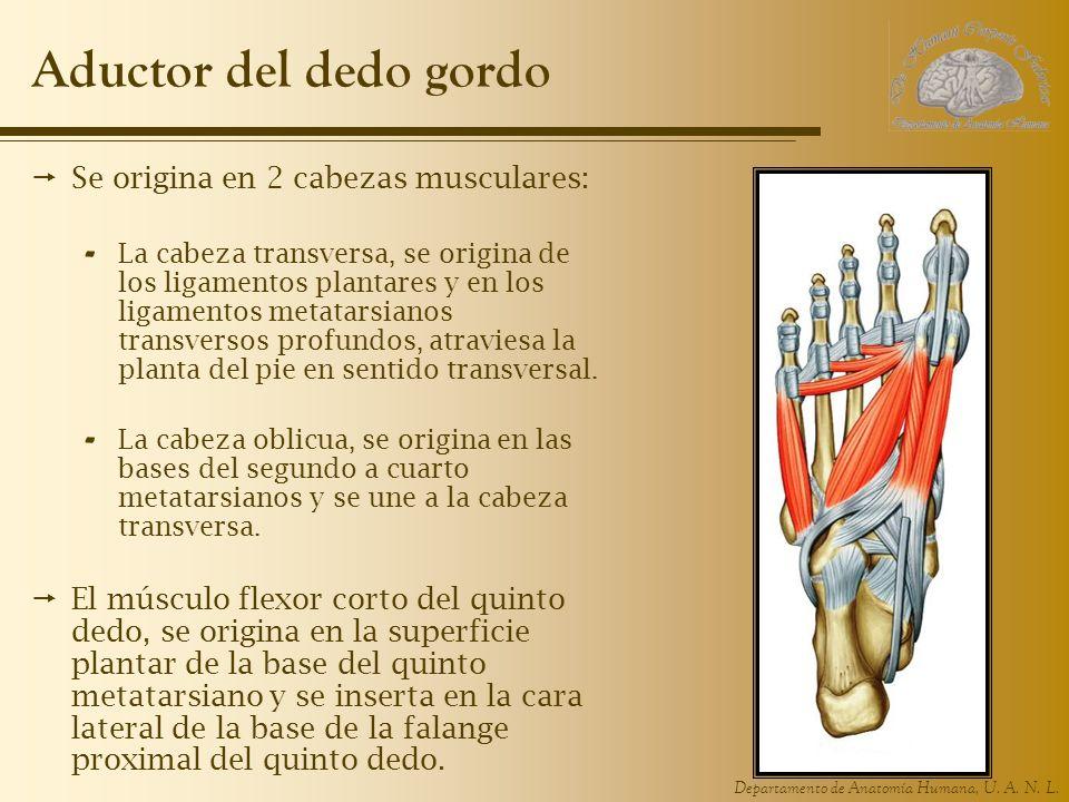 Aductor del dedo gordo Se origina en 2 cabezas musculares: