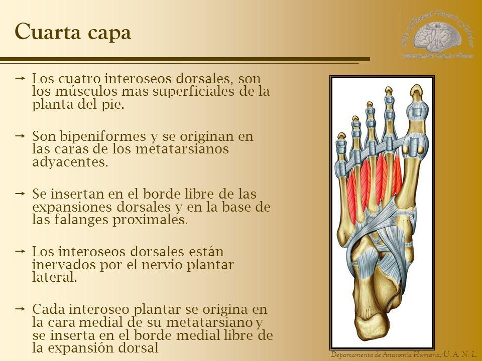 Cuarta capa Los cuatro interoseos dorsales, son los músculos mas superficiales de la planta del pie.