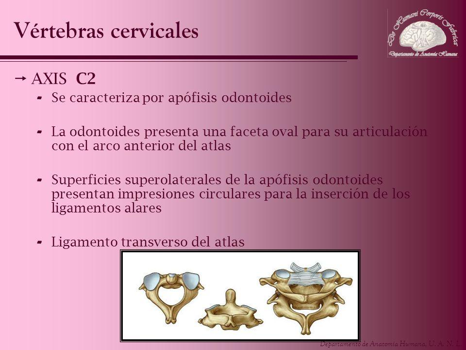 Vértebras cervicales AXIS C2 Se caracteriza por apófisis odontoides