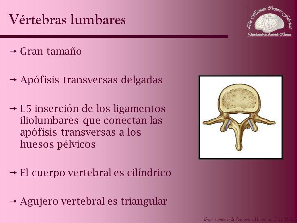 Vértebras lumbares Gran tamaño Apófisis transversas delgadas