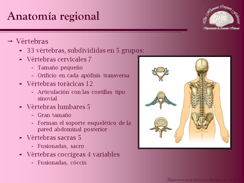 Anatomía regional Vértebras 33 vértebras, subdivididas en 5 grupos: