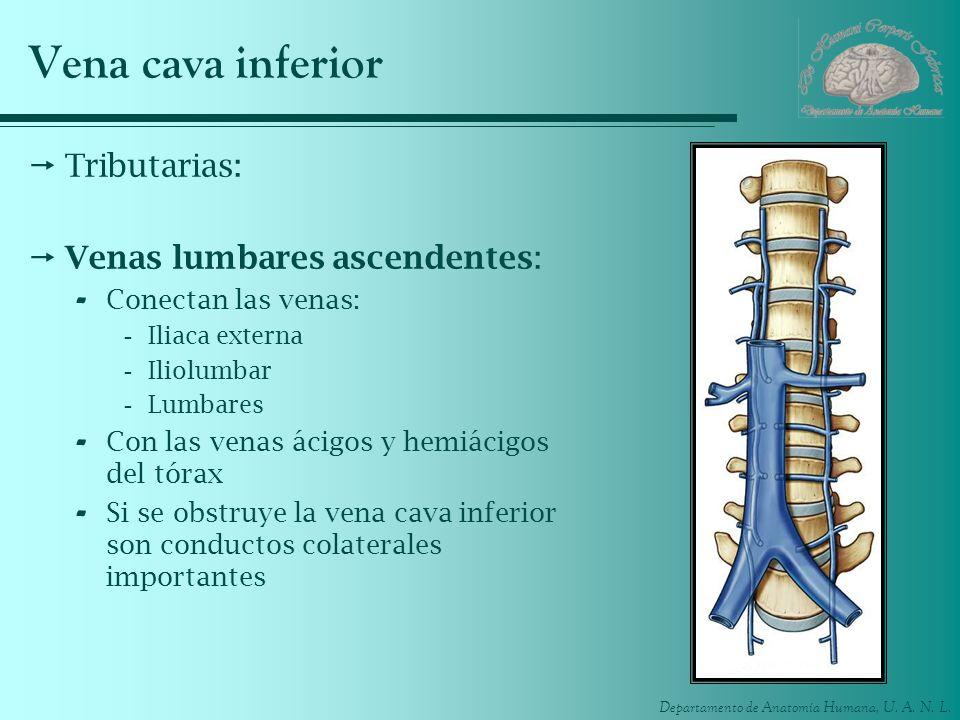 Vena cava inferior Tributarias: Venas lumbares ascendentes: