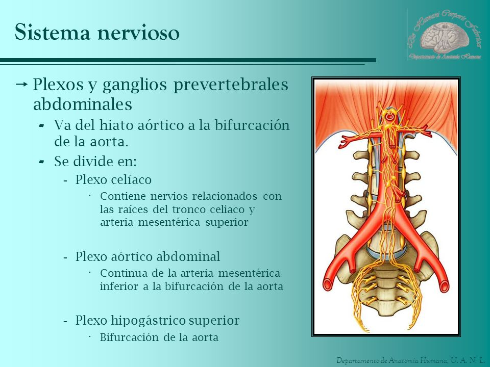 Sistema nervioso Plexos y ganglios prevertebrales abdominales