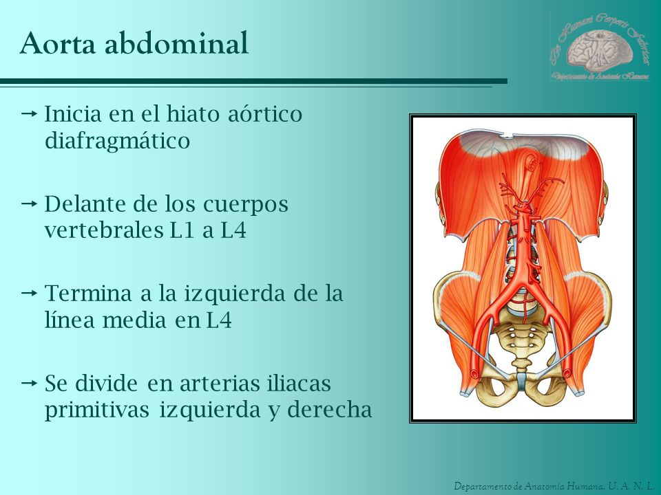 Aorta abdominal Inicia en el hiato aórtico diafragmático