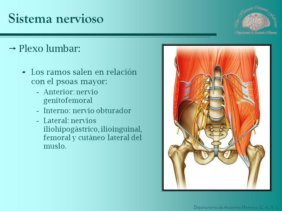 Sistema nervioso Plexo lumbar: