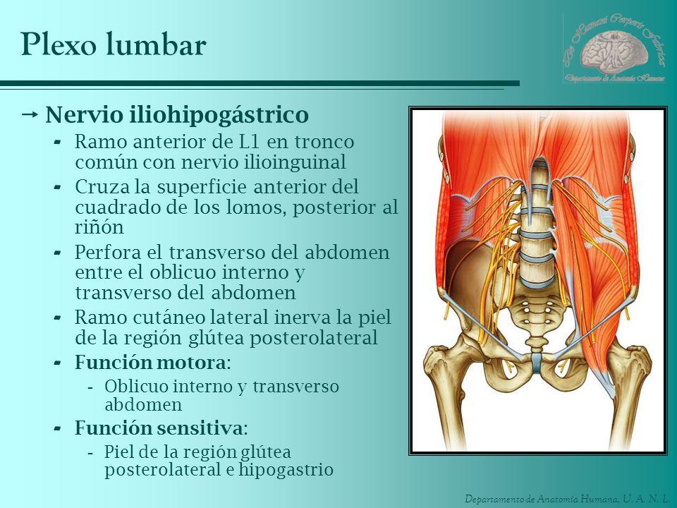 Plexo lumbar Nervio iliohipogástrico