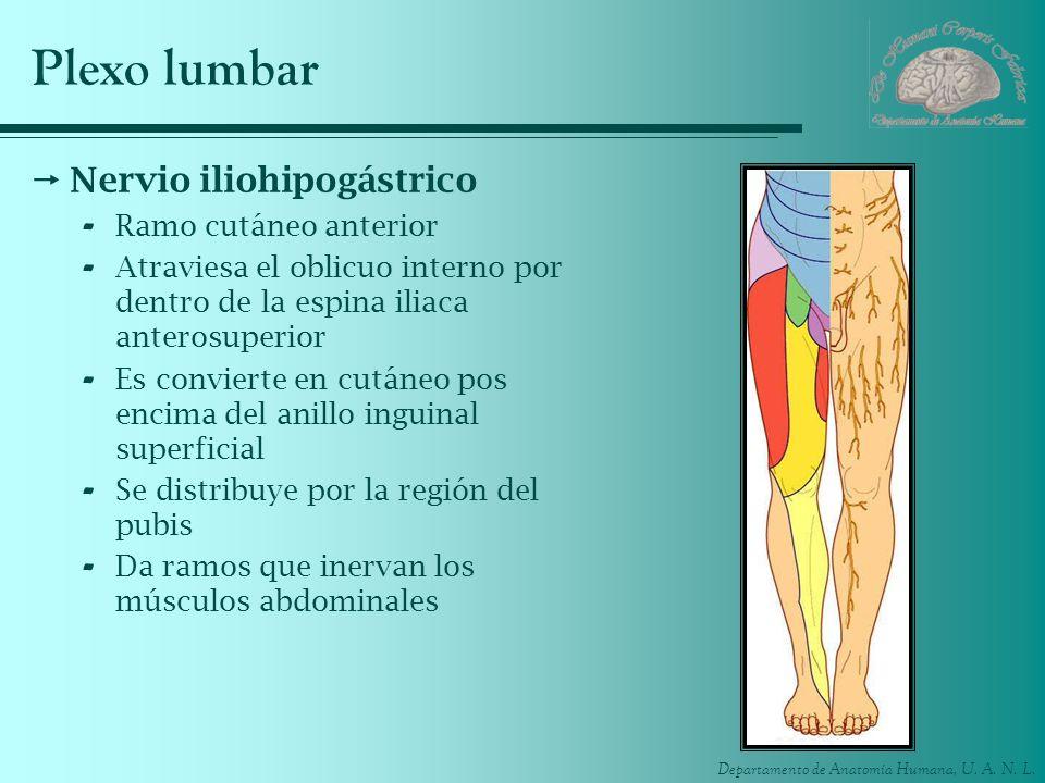 Plexo lumbar Nervio iliohipogástrico Ramo cutáneo anterior