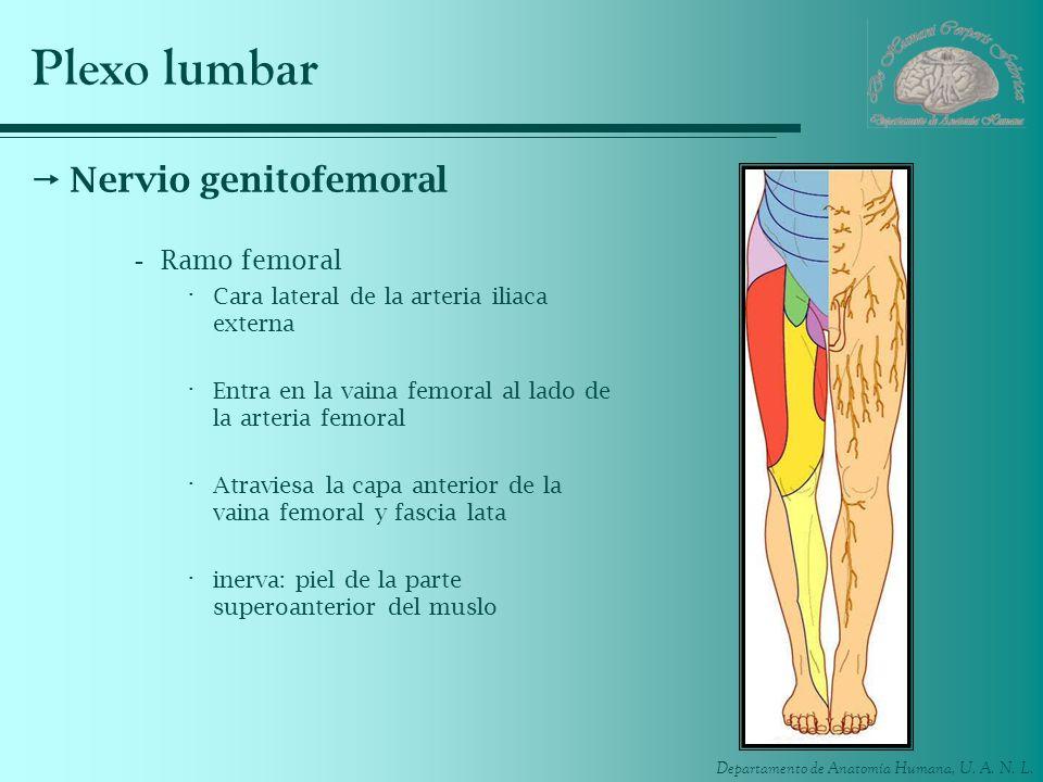 Plexo lumbar Nervio genitofemoral Ramo femoral
