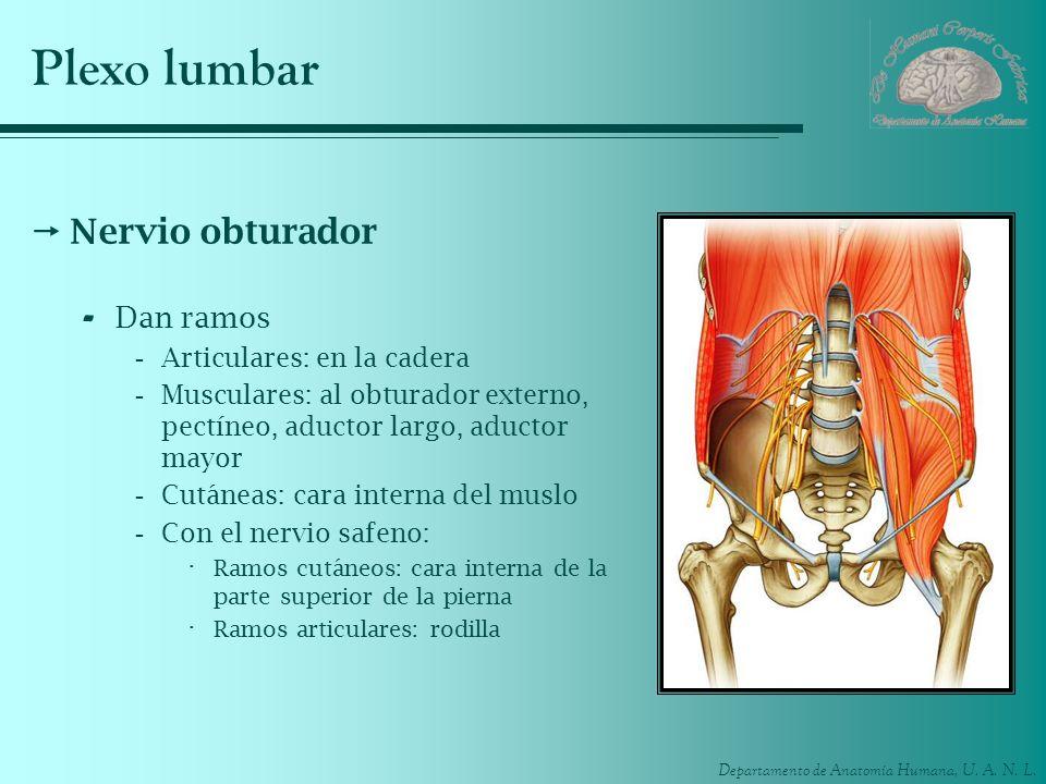 Plexo lumbar Nervio obturador Dan ramos Articulares: en la cadera