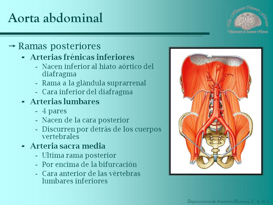 Aorta abdominal Ramas posteriores Arterias frénicas inferiores